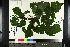 (Hylodesmum - NC2012_372)  @11 [ ] by-nc (2014) MTMG McGill University Herbarium