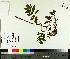 (Sorbus americana - NC2012_464)  @11 [ ] by-nc (2014) MTMG McGill University Herbarium