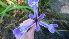 (Iris versicolor - NC2012_237)  @11 [ ] CreativeCommons - Attribution Non-Commercial (2012) MTMG McGill University Herbarium