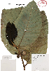 (Poulsenia - Velasco712)  @11 [ ] Copyright  K. Hernandez y P. Mendoza 2010 Unspecified
