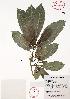 (Tabernaemontana alba - Velasco536)  @11 [ ] Copyright  K. Hernandez y P. Mendoza 2010 Unspecified