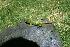 (Sceloporus formosus - MXHER090)  @11 [ ] Copyright (2010) Copyrigth Museo de Zoologa