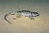 (Sceloporus mucronatus - MXHER100)  @14 [ ] Copyright (2010) Copyrigth Museo de Zoologa