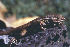  (Sceloporus variabilis - MXHER105)  @11 [ ] Copyright (2010) Copyrigth Museo de Zoologa 