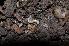 (Brachychaeteumatidae - BC ZSM MYR 00278)  @14 [ ] CreativeCommons - Attribution Share-Alike (2010) Unspecified Zoologische Staatssammlung Muenchen