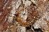 (Lithobiomorpha - BC ZSM MYR 00461)  @15 [ ] CreativeCommons - Attribution Non-Commercial Share-Alike (2012) Jörg Spelda ZSM (Zoologische Staatssammlung Muenchen)