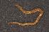 (Himantariidae - BC ZSM MYR 00495)  @14 [ ] CreativeCommons - Attribution Non-Commercial Share-Alike (2010) Jörg Spelda ZSM (Zoologische Staatssammlung Muenchen)