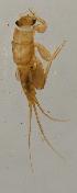 (Leptohyphidae - INB0004331628)  @13 [ ] Copyright (2012) M. Zumbado Instituto Nacional de Biodiversidad