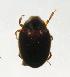 (Limnichidae - INB0004341093)  @13 [ ] Copyright (2012) M. Zumbado Instituto Nacional de Biodiversidad