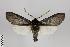 (Hemihyalea - Arcec 31037)  @11 [ ] Copyright (2013) Gunnar Brehm Institut fuer Spezielle Zoologie und Evolutionsbiologie, Friedrich-Schiller Universität Jena