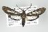 (Pseudaclytia - ArcCR 42065)  @14 [ ] Copyright (2010) Unspecified Institut fuer Spezielle Zoologie und Evolutionsbiologie, Friedrich-Schiller Universität Jena
