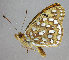 (Speyeria coronis - 2823nk-dt2)  @13 [ ] No Rights Reserved (2010) Unspecified Unspecified