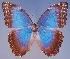 (Morpho achilles hyacinthus - AIV157)  @11 [ ] CreativeCommons - Attribution Non-Commercial Share-Alike (2011) Patricia Escalante Pliego Universidad Nacional Autonoma de Mexico, Instituto de Biologia