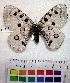 (Parnassius apollo democratus - EC-024)  @14 [ ] Unspecified (default): All Rights Reserved  Unspecified Unspecified