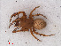 (Araneus quadratus - RMNH.ARA.14384)  @14 [ ] CreativeCommons - Attribution Non-Commercial Share-Alike (2012) Unspecified Naturalis, Biodiversity Centre