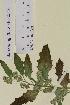 (Chenopodium suecicum - SEL_0516)  @11 [ ] CreativeCommons - Attribution Non-Commercial Share-Alike (2012) Unspecified Tromsø University Museum