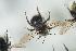 (Bombus flavidus - NOAPI633)  @11 [ ] CC-NC-SA (2014) Arnstein Staverlokk Norwegian Institute of Nature Research