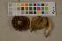 (Chroogomphus - O-F-75556)  @11 [ ] by-nc (2014) Siri Rui Natural History Museum, University of Oslo, Norway