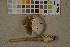 (Amanita battarrae - O-F-75589)  @11 [ ] by-nc (2014) Siri Rui Natural History Museum, University of Oslo, Norway