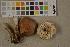 (Rhodocollybia - O-F-75599)  @11 [ ] by-nc (2014) Siri Rui Natural History Museum, University of Oslo, Norway