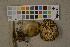 (Megacollybia - O-F-75654)  @11 [ ] by-nc (2014) Siri Rui Natural History Museum, University of Oslo, Norway