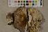 (Russula acrifolia - O-F-75696)  @11 [ ] by-nc (2014) Siri Rui Natural History Museum, University of Oslo, Norway