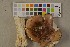(Tricholoma pessundatum - O-F-75719)  @11 [ ] by-nc (2014) Siri Rui Natural History Museum, University of Oslo, Norway