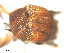 (Simulium earlei - BIOUG01379-G08)  @12 [ ] CreativeCommons - Attribution Non-Commercial Share-Alike (2011) BIO Photography Group Biodiversity Institute of Ontario