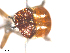 (Simulium pseudocallidum - BIOUG01380-A07)  @12 [ ] CreativeCommons - Attribution Non-Commercial Share-Alike (2011) BIO Photography Group Biodiversity Institute of Ontario