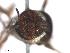 (Simulium nr. wygodzinskyorum - BIOUG01380-C07)  @11 [ ] CreativeCommons - Attribution Non-Commercial Share-Alike (2011) BIO Photography Group Biodiversity Institute of Ontario