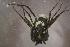 (Cycloctenidae - NZSPI335)  @11 [ ] Copy right (2014) University  of Waikato University of Waikato