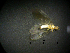  (Oeconesidae - NZ256)  @13 [ ] Copyright (2012) University of Waikato University of Waikato