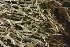 (Cladonia crispata - O-L-184731)  @11 [ ] by-nc (2014) Siri Synnøve Høie Natural History Museum, University of Oslo, Norway