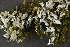 (Cladonia cyathomorpha - O-L-186087)  @11 [ ] by-nc (2014) Siri Synnøve Høie Natural History Museum, University of Oslo, Norway