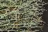 (Cladonia furcata - O-L-190212)  @11 [ ] by-nc (2014) Siri Synnøve Høie Natural History Museum, University of Oslo, Norway