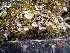 (Cladonia grayi - O-L-195757)  @11 [ ] by-nc (2014) Siri Rui Natural History Museum, University of Oslo, Norway