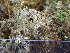 (Cladonia stygia - O-L-195760)  @11 [ ] by-nc (2014) Siri Rui Natural History Museum, University of Oslo, Norway