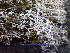 (Cladonia rangiferina - O-L-195774)  @11 [ ] by-nc (2014) Einar Timdal Natural History Museum, University of Oslo, Norway