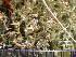 (Cladonia crispata - O-L-195955)  @11 [ ] by-nc (2014) Gunnhild Marthinsen Natural History Museum, University of Oslo, Norway