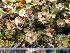 (Cladonia verticillata - O-L-195978)  @11 [ ] by-nc (2014) Gunnhild Marthinsen Natural History Museum, University of Oslo, Norway