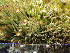 (Cladonia gracilis - O-L-195988)  @11 [ ] by-nc (2014) Gunnhild Marthinsen Natural History Museum, University of Oslo, Norway