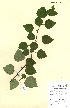 (Betula - NHM30)  @11 [ ] CreativeCommons - Attribution Non-Commercial Share-Alike (2012) James Tosh Natural History Museum, London