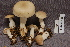  (Tricholoma inamoenum - TRTC156947)  @11 [ ] CreativeCommons - Attribution Non-Commercial Share-Alike (2010) Unspecified Royal Ontario Museum