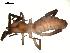 (Ammotrechidae - 02-BB09US-E07)  @14 [ ] CreativeCommons - Attribution Non-Commercial Share-Alike (2010) Gergin Blagoev, Biodiversity Intitute of Ontario Biodiversity Institute of Ontario