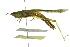 (Stenacris - BIOUG02000-B10)  @15 [ ] CreativeCommons - Attribution Non-Commercial Share-Alike (2012) BIO Photography Group Biodiversity Institute of Ontario