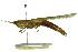 (Stenacris - BIOUG02000-C01)  @15 [ ] CreativeCommons - Attribution Non-Commercial Share-Alike (2012) BIO Photography Group Biodiversity Institute of Ontario