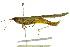 (Stenacris - BIOUG02000-C08)  @15 [ ] CreativeCommons - Attribution Non-Commercial Share-Alike (2012) BIO Photography Group Biodiversity Institute of Ontario