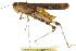 (Chortophaga - BIOUG02004-B04)  @15 [ ] CreativeCommons - Attribution Non-Commercial Share-Alike (2012) BIO Photography Group Biodiversity Institute of Ontario
