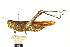 (Schistocerca obsura - BIOUG01996-A10)  @15 [ ] CreativeCommons - Attribution Non-Commercial Share-Alike (2012) BIO Photography Group Biodiversity Institute of Ontario