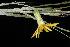 (Pityopsis - OSBAR000011)  @11 [ ] Copyright (2014) Florida Museum of Natural History Florida Museum of Natural History